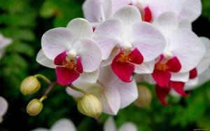orquidea-preciosa