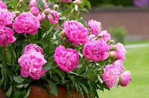 planta-peonia-flor-grande-18953-MLA20163726861_092014-F